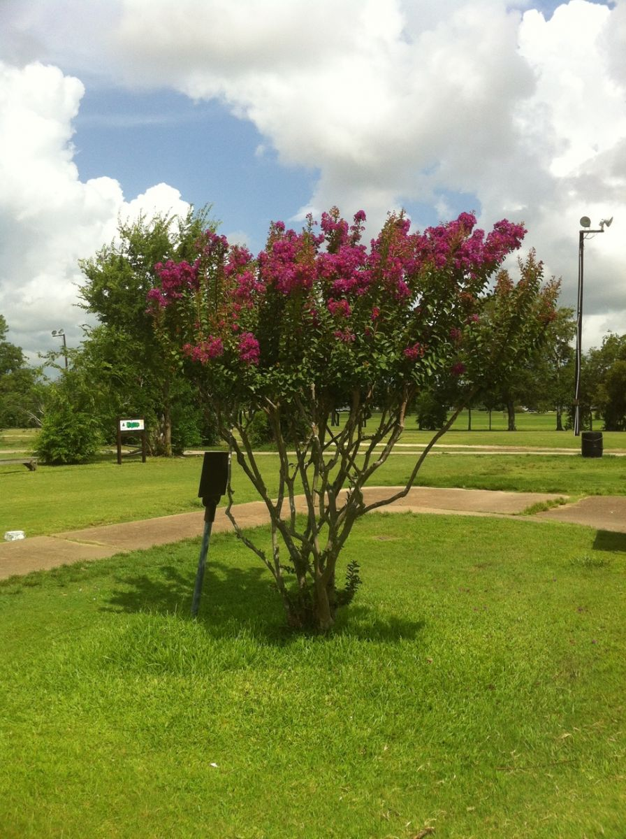 A tree with pink flowers on the course at Hillcrest Golf Club